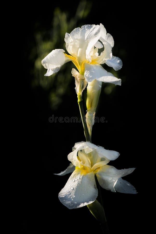 Delikatna, biała tęczówka Piękny kwiat dekoracyjny obrazy stock