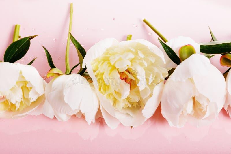Delikatna biel menchii peonia z płatkami kwitnie na różowym tle Zasi?rzutny odg?rny widok, mieszkanie nieatutowy kosmos kopii obraz stock