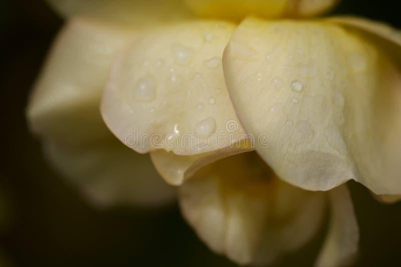Delikatna kolor żółty róża zdjęcia stock