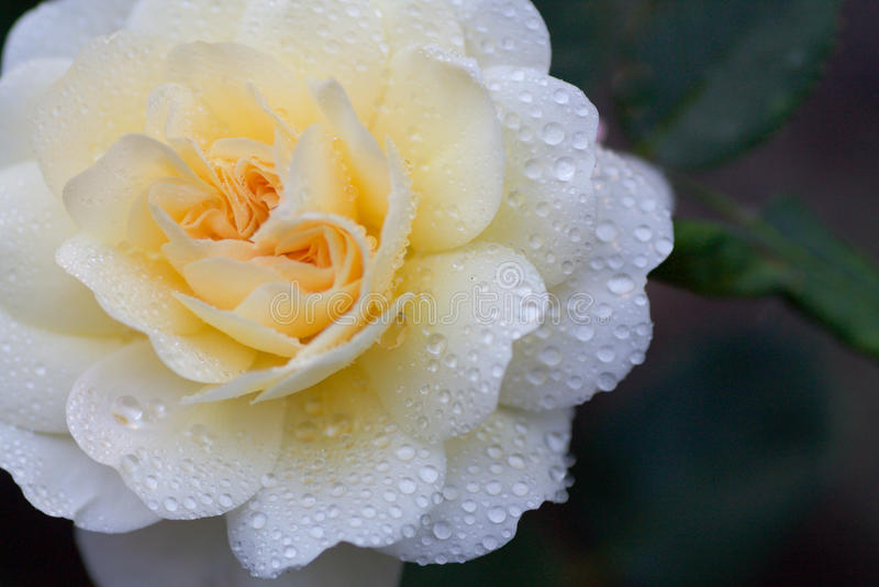 Delikatna kolor żółty róża mokra z raindrops fotografia stock