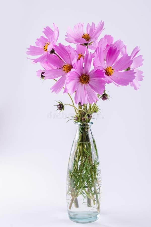Delikatna kosmos menchia kwitnie w szklanej wazie na bielu fotografia royalty free