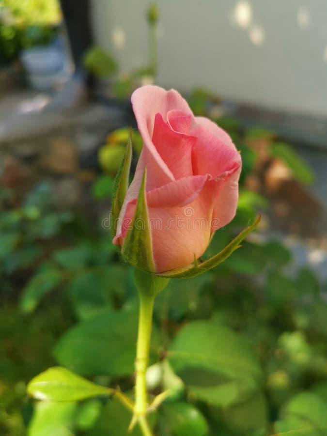 Delikatna menchii róża na ogródzie zdjęcia stock
