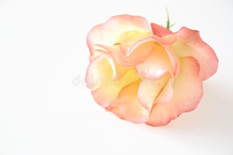 delikatna różową różę obraz stock