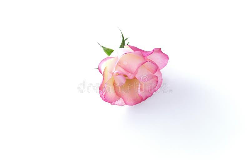 delikatna różowego rose pojedyncza obraz royalty free