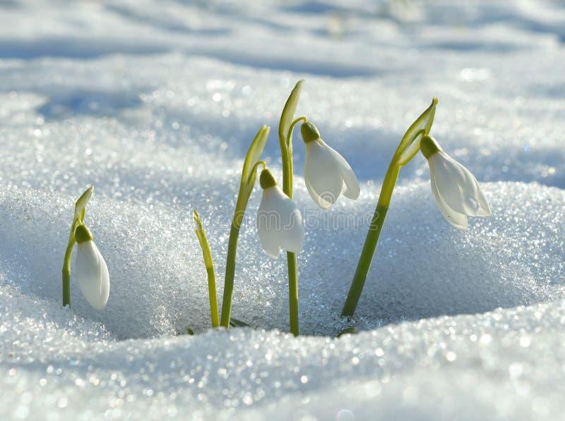 Delikatne śnieżyczki obraz royalty free