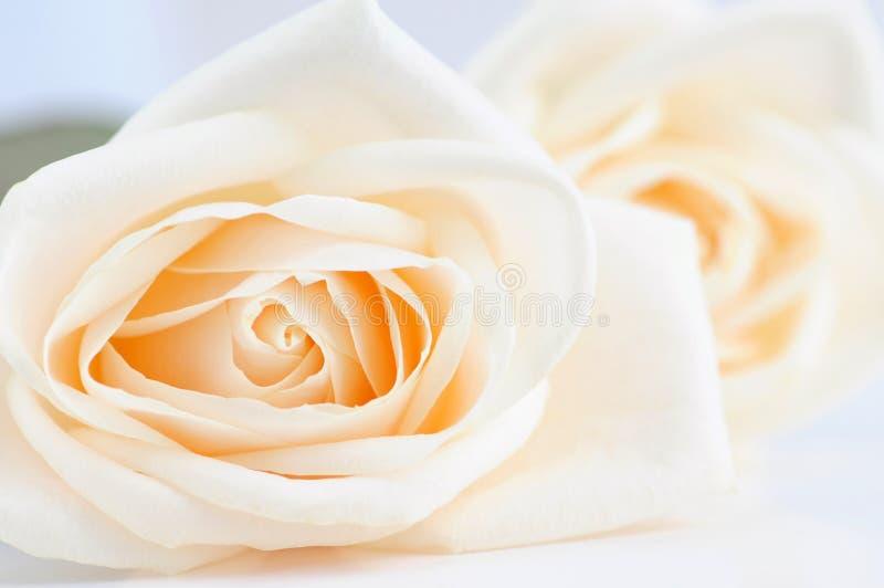 delikatne beżowe róże fotografia stock