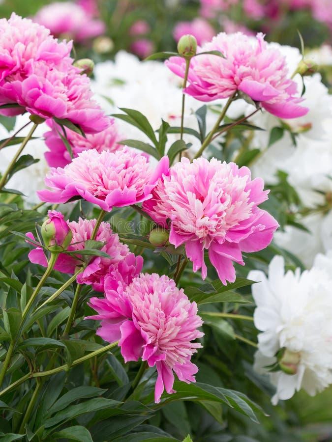 Delikatne kwiat ogrodowych menchii peonie zdjęcie stock