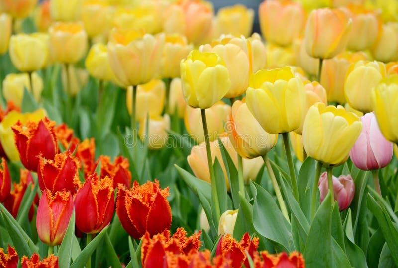 Delikatni żółci tulipany kwitną na kwiatu łóżku na wiosny popołudniu obraz stock
