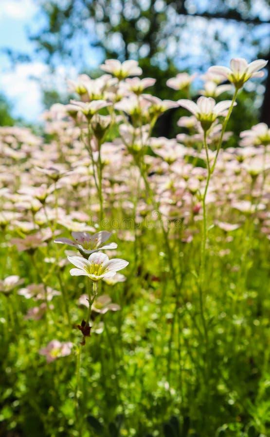 Delikatni biali kwiaty mechaci w wiośnie badan uprawiają ogródek zdjęcie stock