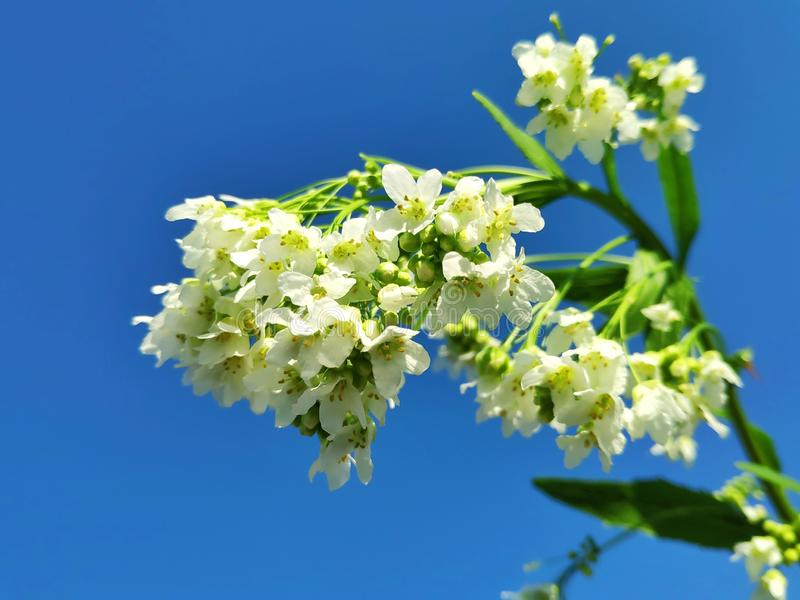 Delikatni ogrodowi horseradish kwiaty zdjęcie royalty free