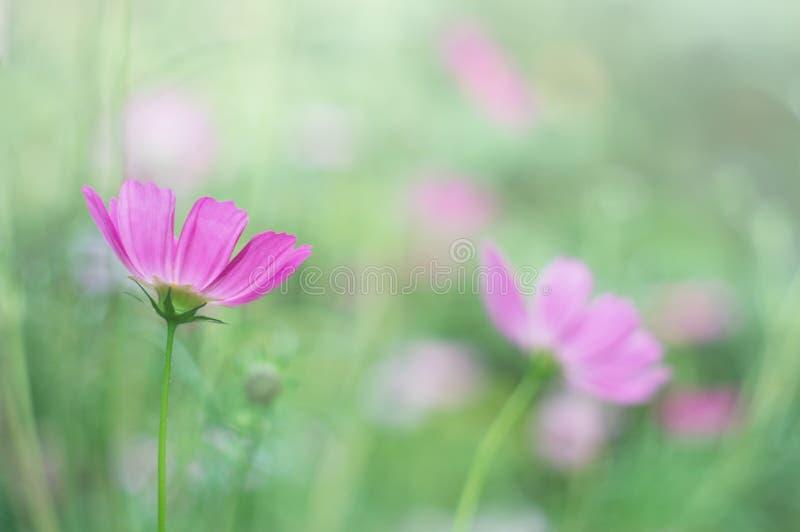 Delikatni purpurowi kwiaty na zamazanym zielonym tle Miękka część, selekcyjna ostrość obrazy royalty free