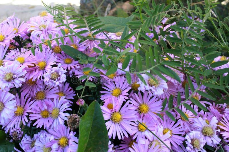 Delikatni purpurowi mali kwiaty Wrzesień, krzaka wczesna jesień kwiaty obraz royalty free