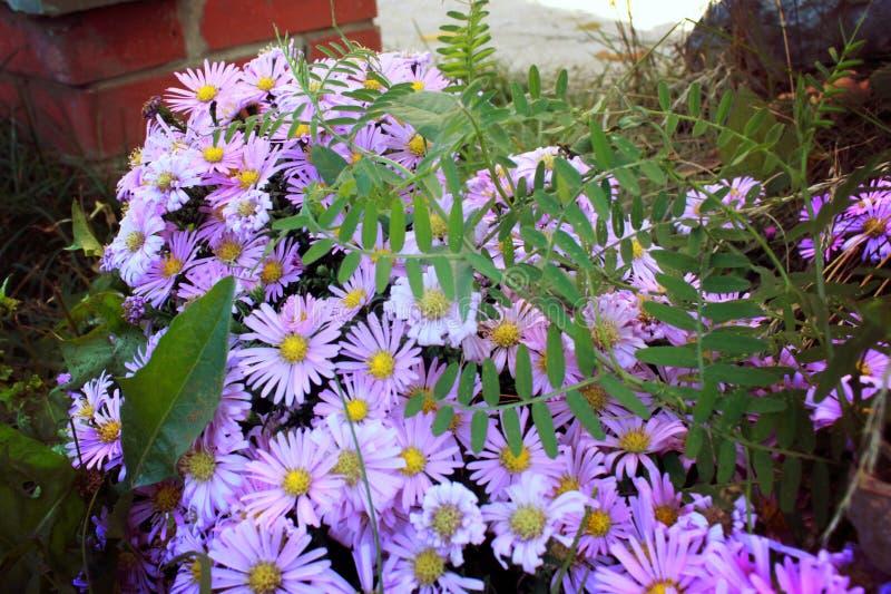 Delikatni purpurowi mali kwiaty Wrzesień, krzaka wczesna jesień kwiaty zdjęcia royalty free
