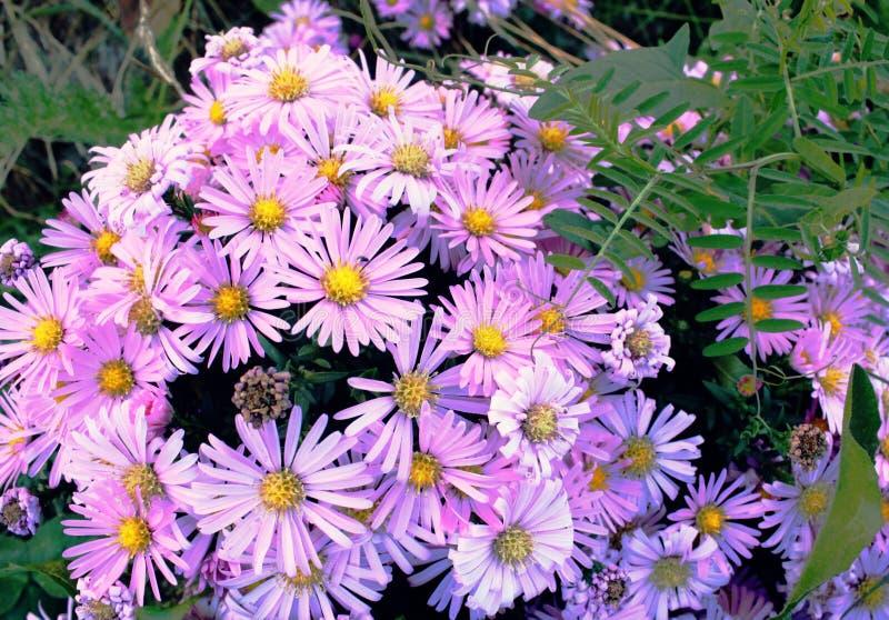 Delikatni purpurowi mali kwiaty Wrzesień, krzaka wczesna jesień kwiaty zdjęcie royalty free