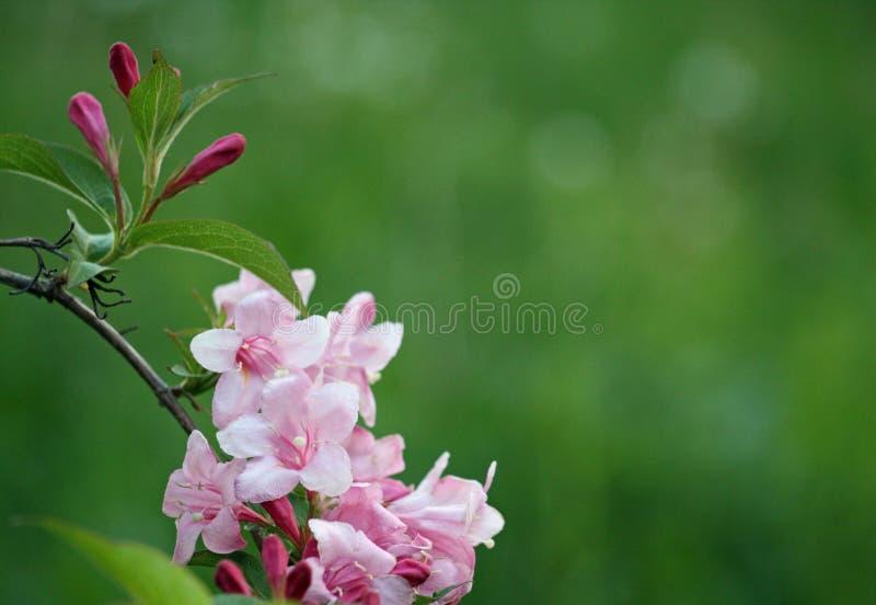 Delikatni różowi kwiaty weigela na jaskrawym - zielony tło obraz stock