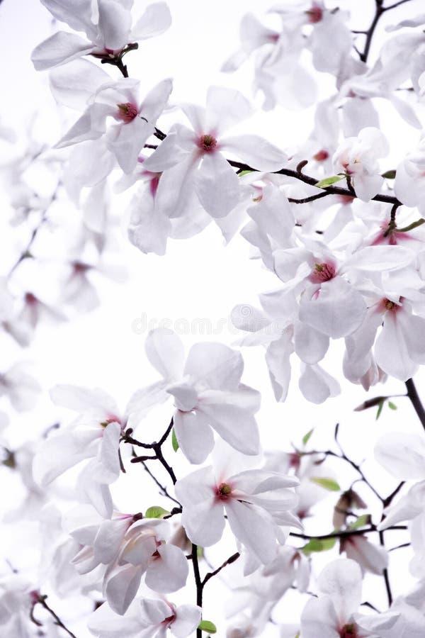 Delikatnie biała magnolia fotografia royalty free