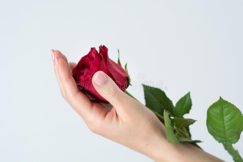 Delikatnie dziewczyn ręki trzyma czerwieni róży kwiatu odizolowywający na białym tle obraz royalty free