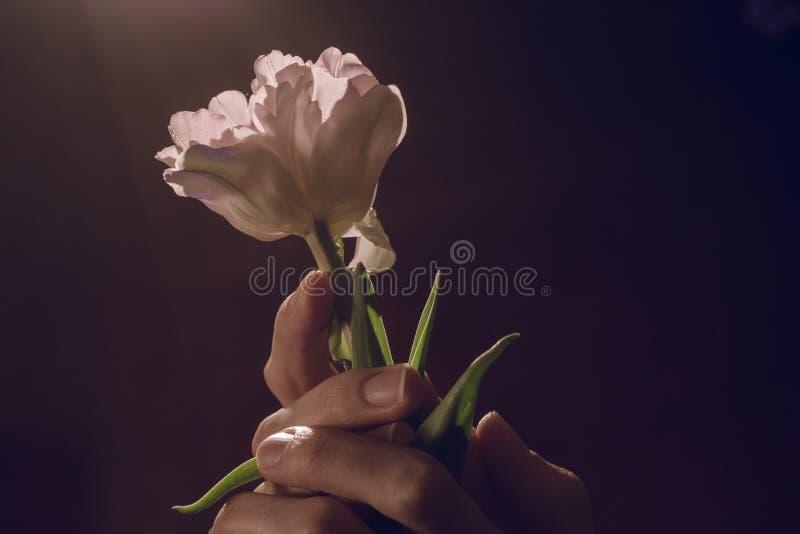 Delikatny biały tulipanowy kwiat w rękach dziewczyna Romantyczny, wiosna prezent zdjęcie royalty free