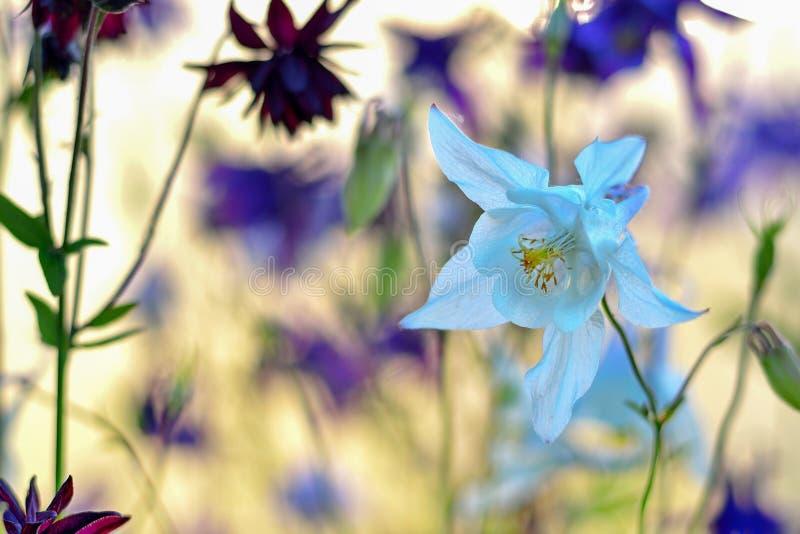 Delikatny biały Aquilegia kwiat na pięknym rozmytym tle fotografia royalty free