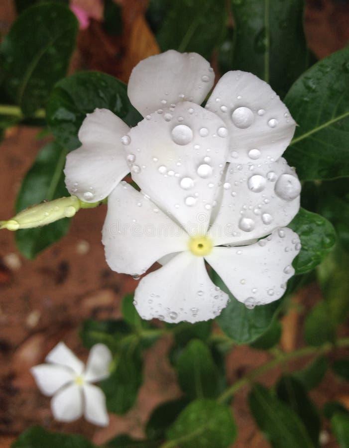 delikatny biały mokry kwiat zdjęcie royalty free