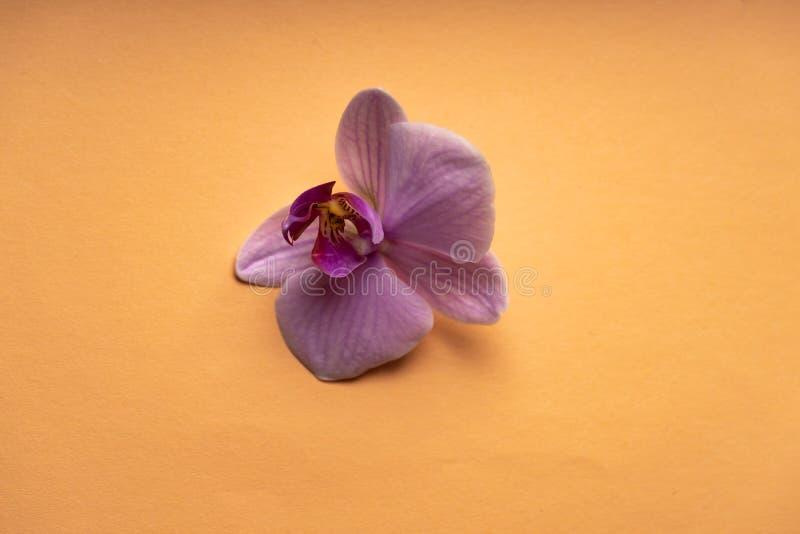 Delikatny blady purpurowy storczykowy kwiat na kolorowym tle zdjęcia stock