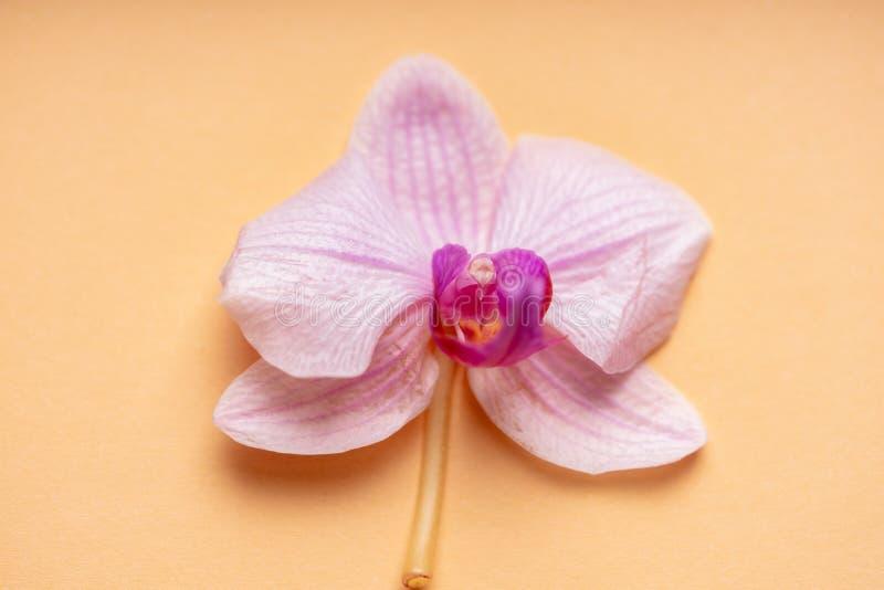 Delikatny blady purpurowy storczykowy kwiat na kolorowym tle zdjęcie stock