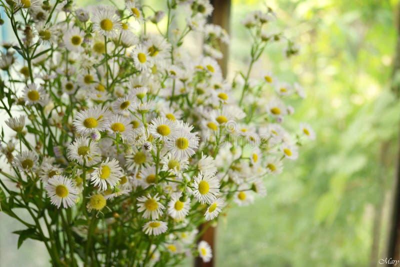 Delikatny chamomile zdjęcie stock