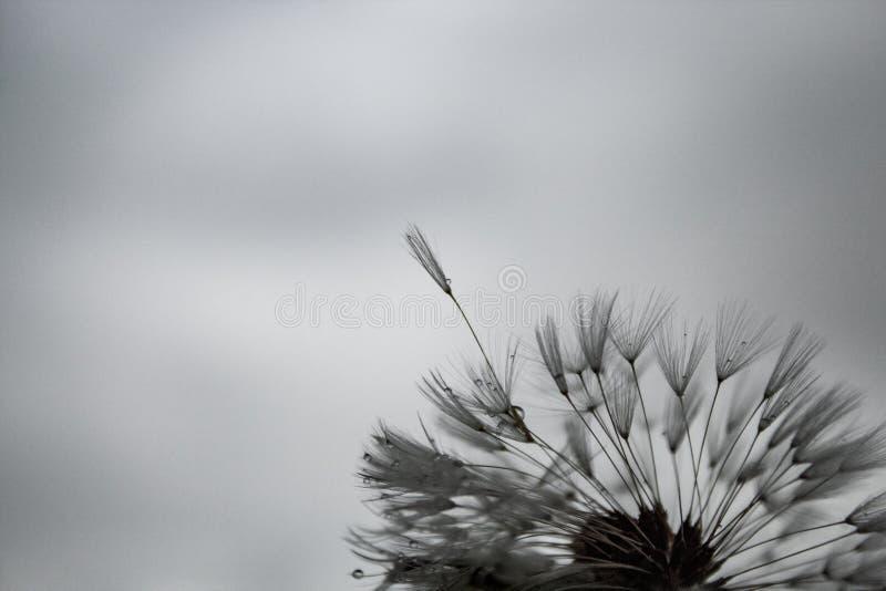 Delikatny dandelion z podeszczowymi kropelkami; ponury dzień, popielaty niebo, markotna atmosfera fotografia royalty free
