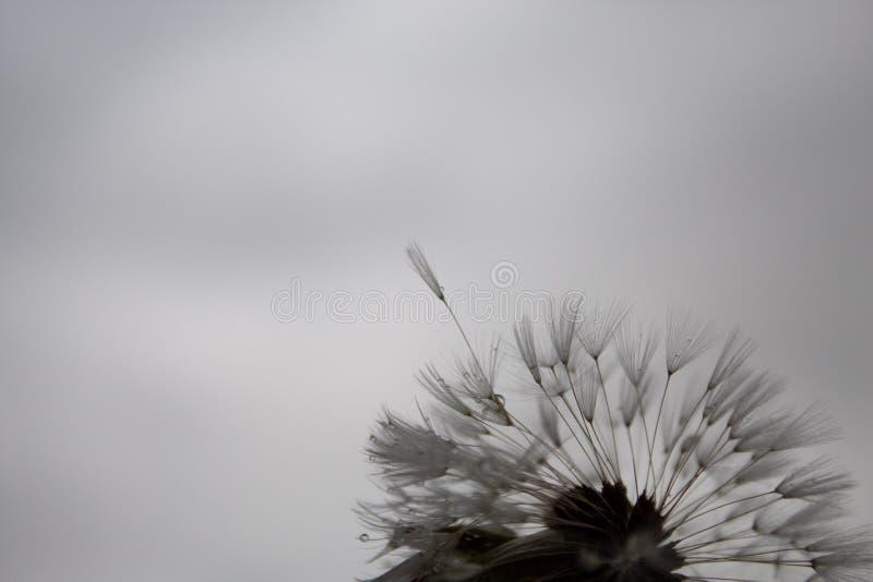 Delikatny dandelion z podeszczowymi kropelkami; ponury dzień, popielaty niebo, markotna atmosfera zdjęcia stock