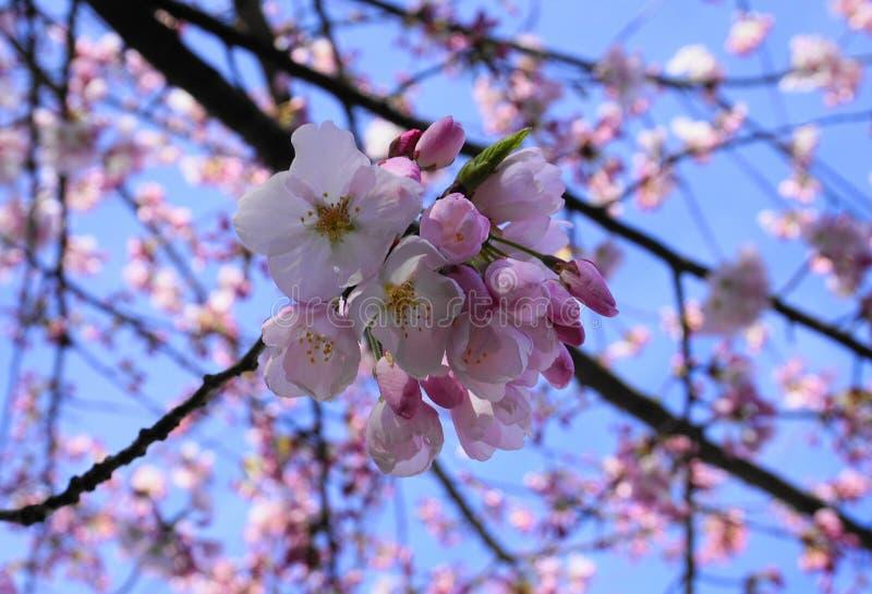 Delikatny i piękny czereśniowy okwitnięcie na błękitnym tle Sakura okwitnięcie okwitnięcie czereśniowy japoński Sakura zdjęcia royalty free
