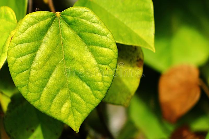 Delikatny jasnozielony liść Chiński redbud Cercis Chinensis obraz royalty free