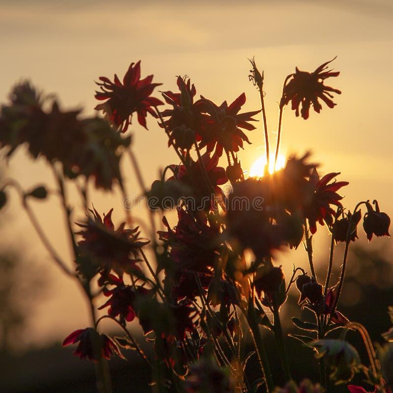 Delikatny kolombina kwiat Aquilegia vulgaris obrazy stock