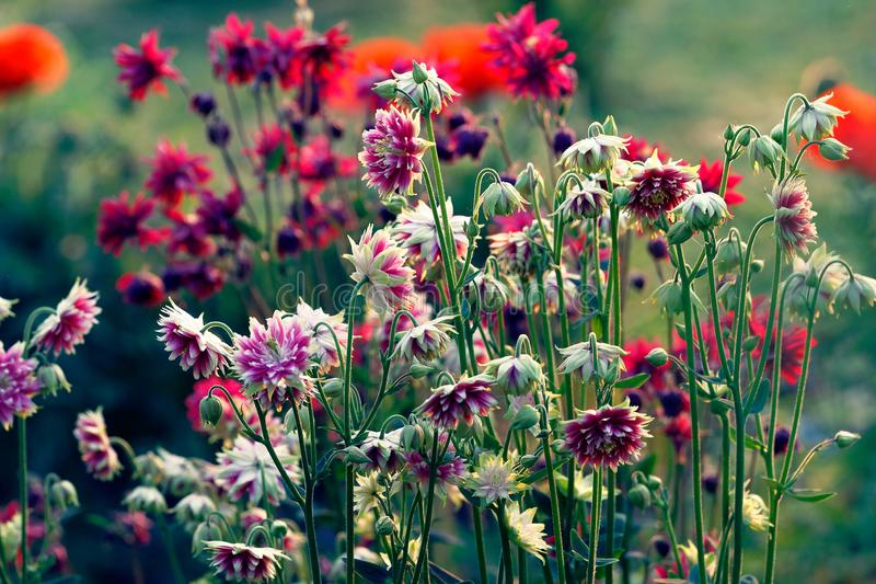Delikatny kolombina kwiat Aquilegia vulgaris zdjęcie royalty free