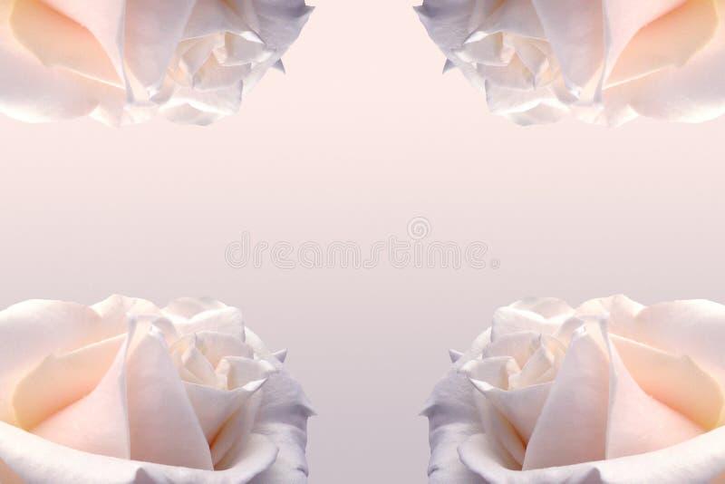 Delikatny kremowy tło z różą Doskonalić dla ślubów, zaproszenia Tło dla ogólnospołecznych sieci zdjęcie stock