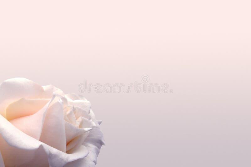 Delikatny kremowy tło z różą Doskonalić dla ślubów, zaproszenia Tło dla ogólnospołecznych sieci fotografia stock