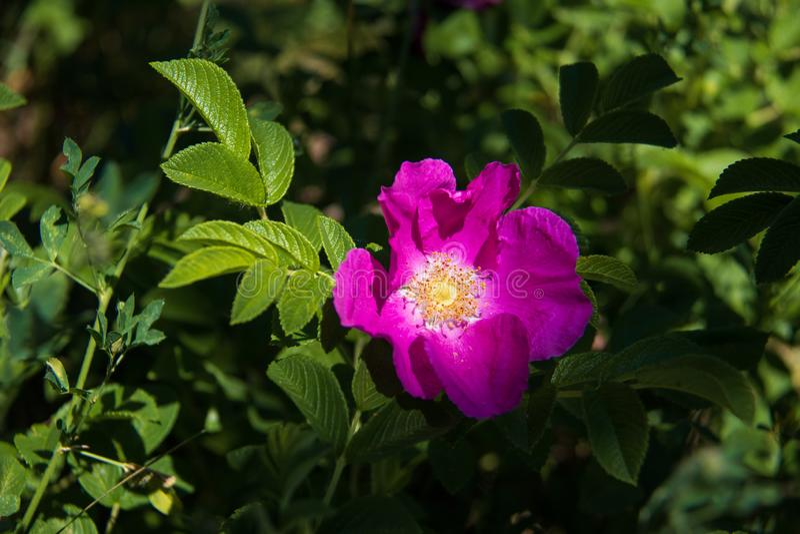 Delikatny kwiat dzikiej róży Jarosław Piękny letni dzień zdjęcia royalty free