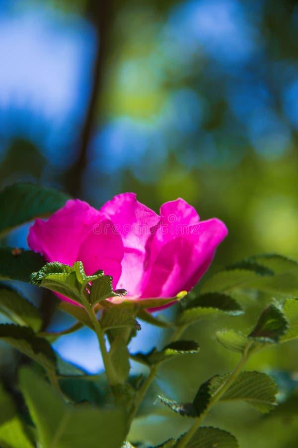 Delikatny kwiat dzikiej róży Jarosław Piękny letni dzień obrazy royalty free