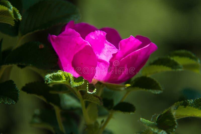 Delikatny kwiat dzikiej róży Jarosław Piękny letni dzień zdjęcie stock