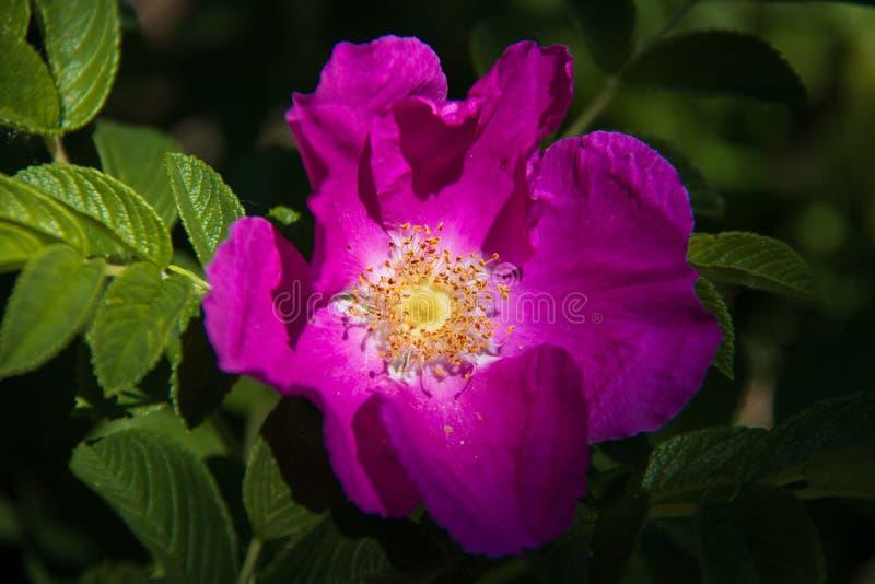 Delikatny kwiat dzikiej róży Jarosław Piękny letni dzień obraz royalty free