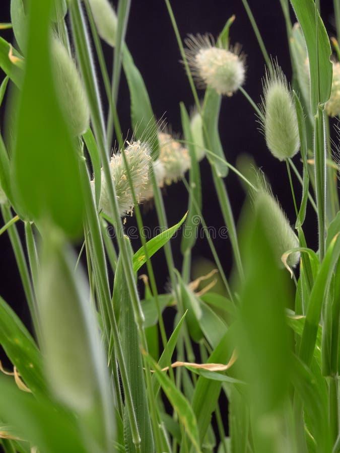 Delikatny kwiatonośny Zajęczy Lagurus ovatus zdjęcia royalty free