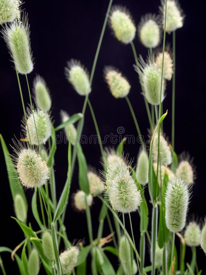 Delikatny kwiatonośny Zajęczy Lagurus ovatus obraz royalty free