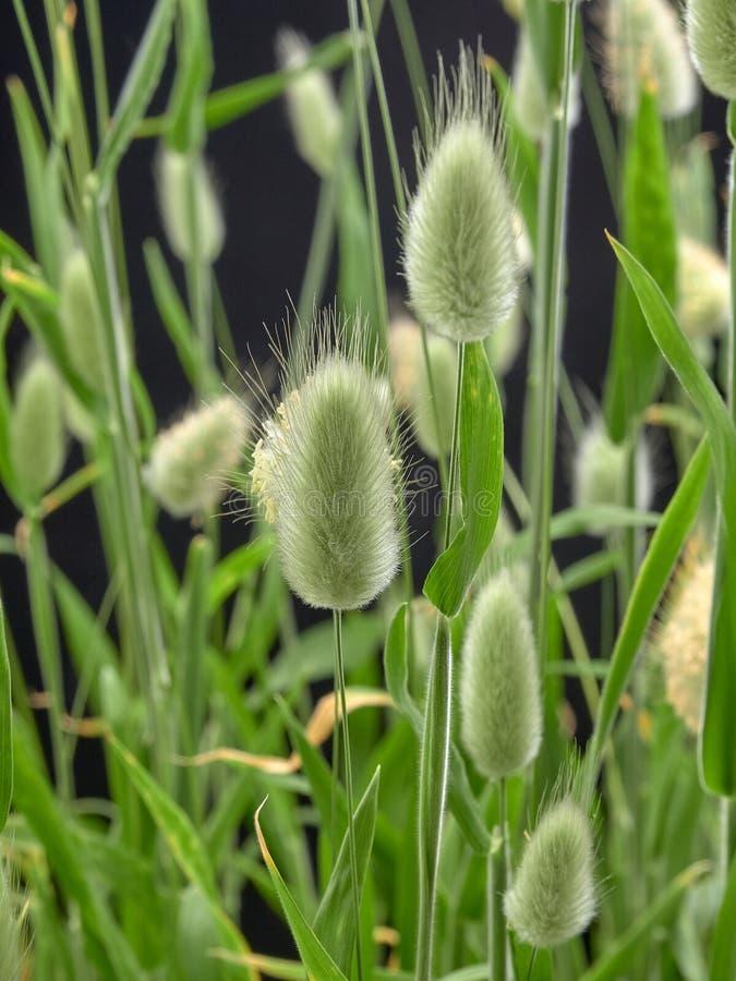 Delikatny kwiatonośny Zajęczy Lagurus ovatus zdjęcia stock