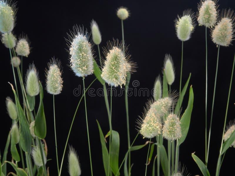 Delikatny kwiatonośny Zajęczy Lagurus ovatus obrazy stock