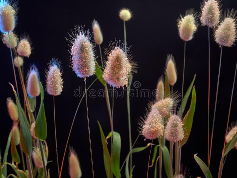 Delikatny kwiatonośny Zajęczy Lagurus ovatus fotografia stock