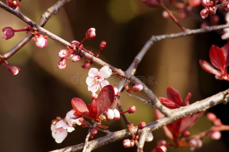 Delikatny kwiecenie Krwionośny Śliwkowy Prunus cerasifera zdjęcie stock