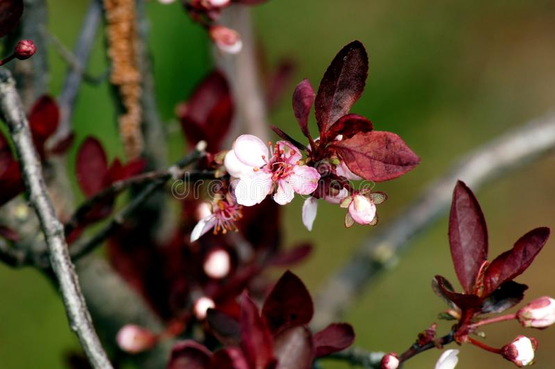 Delikatny kwiecenie Krwiono?ny ?liwkowy Prunus cerasifera obrazy stock