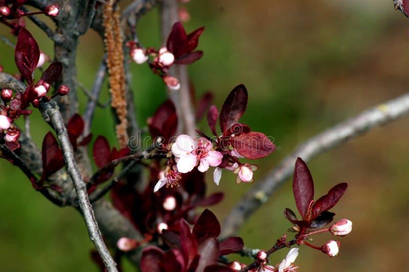 Delikatny kwiecenie Krwiono?ny ?liwkowy Prunus cerasifera zdjęcia stock