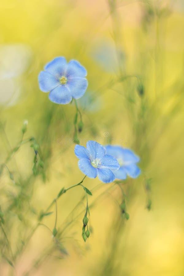 Delikatny len kwitnie na pięknym tle Len outdoors Selekcyjna ostrość zdjęcia stock