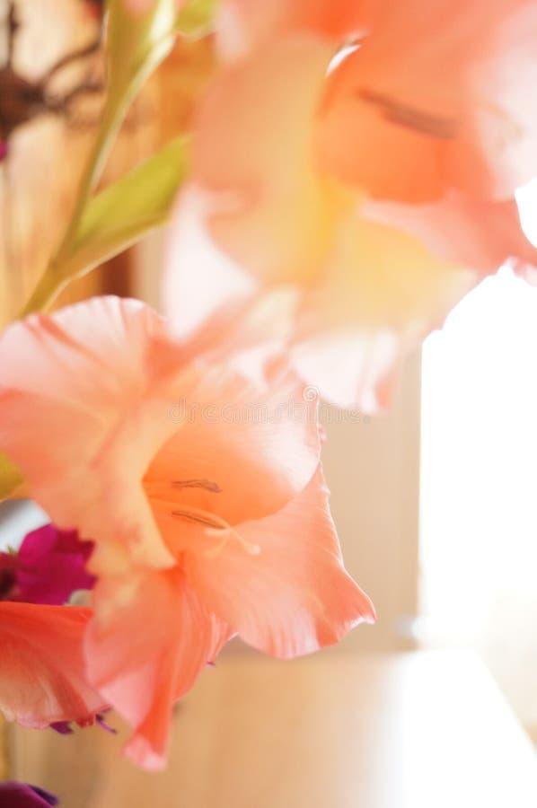 Delikatny menchia kwiat - gladiolus zdjęcia stock