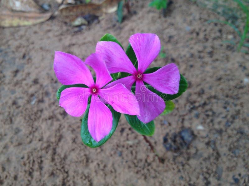 delikatny menchii pola kwiat fotografia royalty free